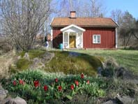 Tulpanerna blommar vid stugan.