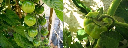 tomater 11 juli