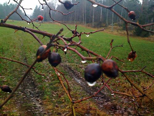 Blöta frostnupna nypon på busken vid grinden.