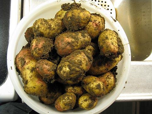 Årets sista potatis från landet.