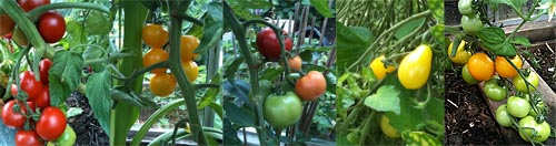 Eriks tomater