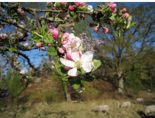 Äppelträden blommar.