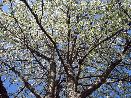 Körsbärsträdet på gården är vitt nu.