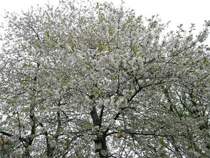 körsbärsblom1