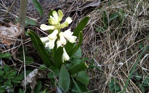 hyacint?