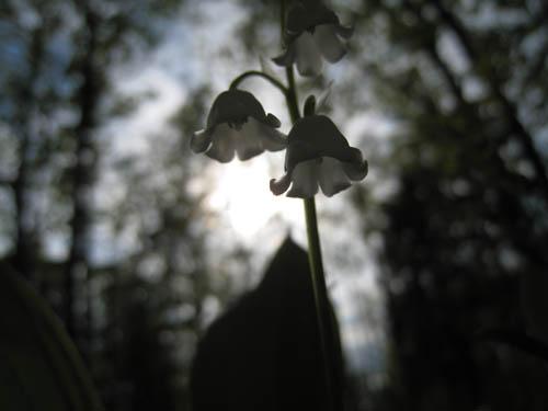 Jag stack in kameran under en konvalj, och bilden blev nästan svartvit.
