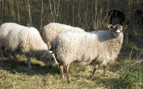 Fåren och lammen betar intill.