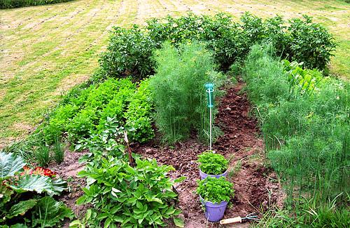 Grönsakslandet mitt i högsommaren.