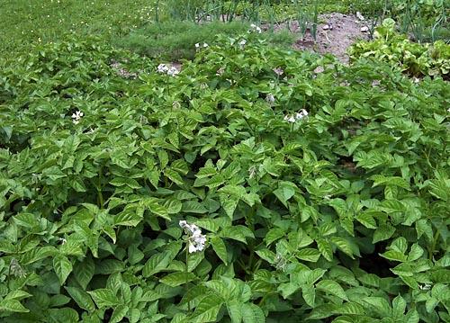 potatislandet