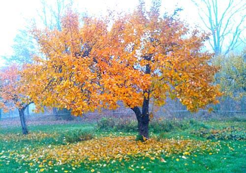 äppelträdslöv