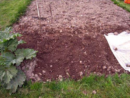 Rabarber till vänster. Under jorden ligger några potatisar och gräslöksfrön. Under odlingsduken ligger dillfrön och sättlök.