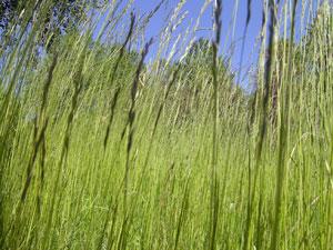 oklippt gräs