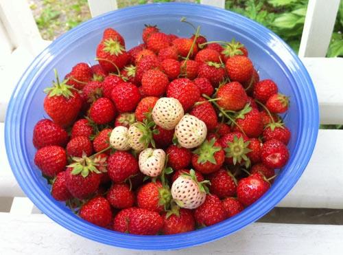 pineberries och jordgubbar