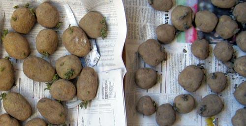potatis gror