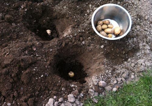potatis20140421