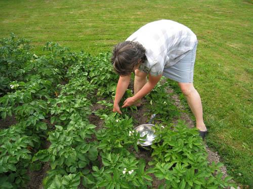 Första potatisen skördas.