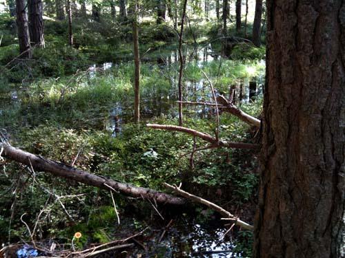 blöt skog