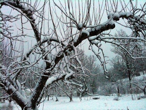 Snö på äppelträdet i torsdags morse.