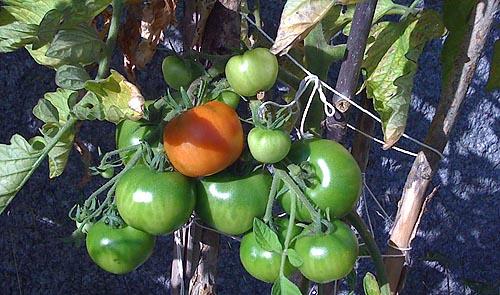 Röd tomat.