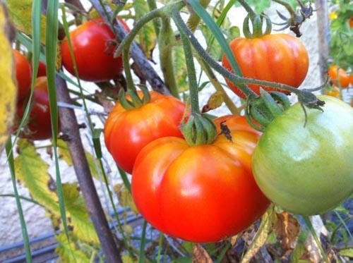 tomat2013