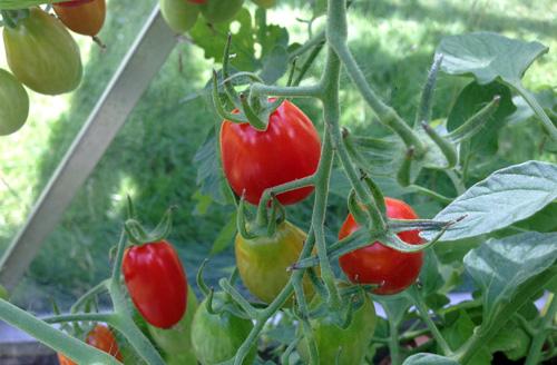 tomat3