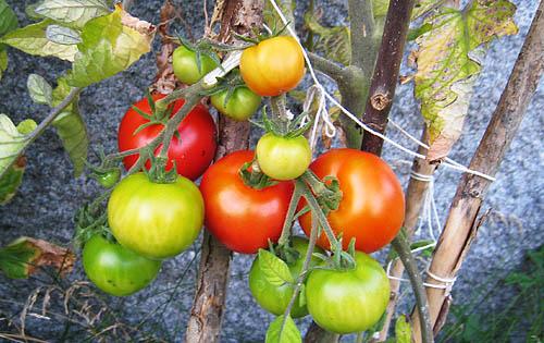 Tomatskörd.