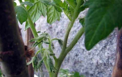 Inne bland bladen har knopparna kommit på tomatplantorna.