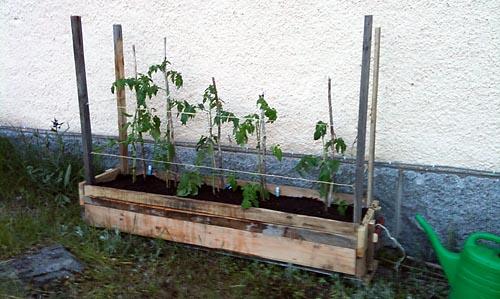 tomaterna planteras