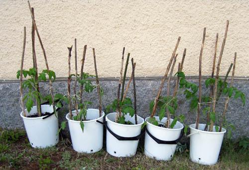 Tomatplantorna är kanske inte en särskilt snygg odling, men praktisk.